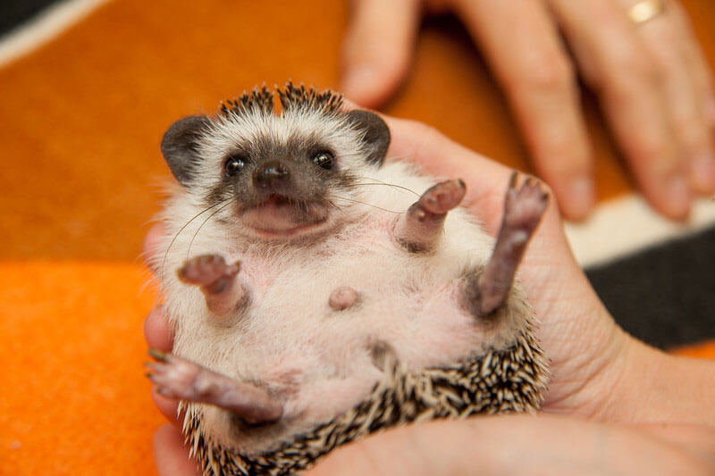hedgehog enjoying himself in vets hands