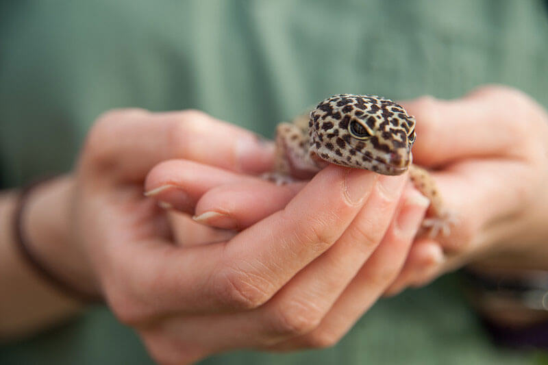 leopard gecko in hands smiling